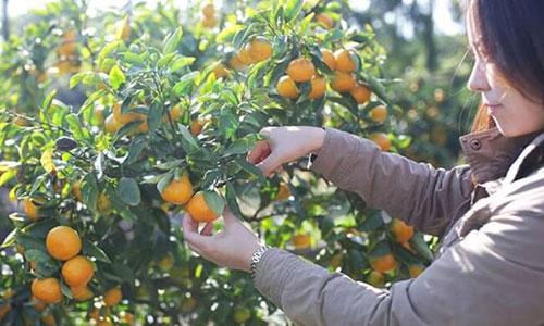 South Korea transports 200 tons of tangerines to Korea